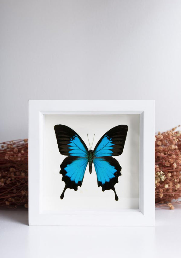Framed Blue Mountain Swallowtail Butterfly - December Thieves