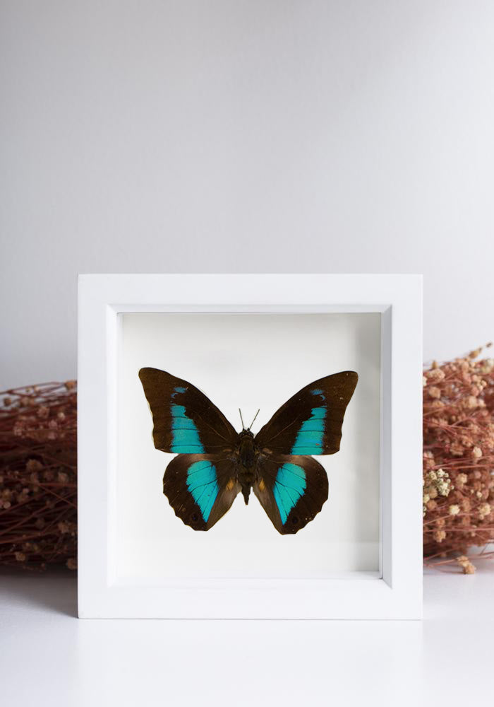 Framed Blue Shoemaker Butterfly