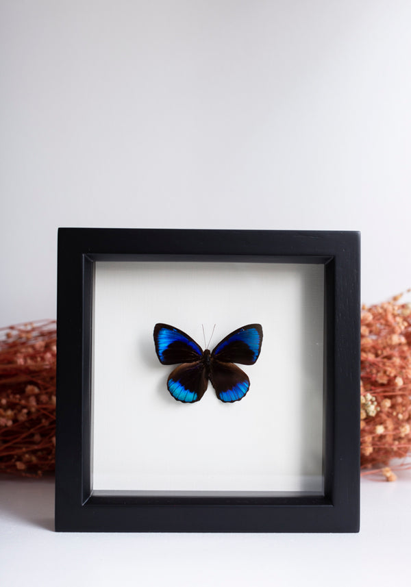 Framed Midnight Blue Butterfly