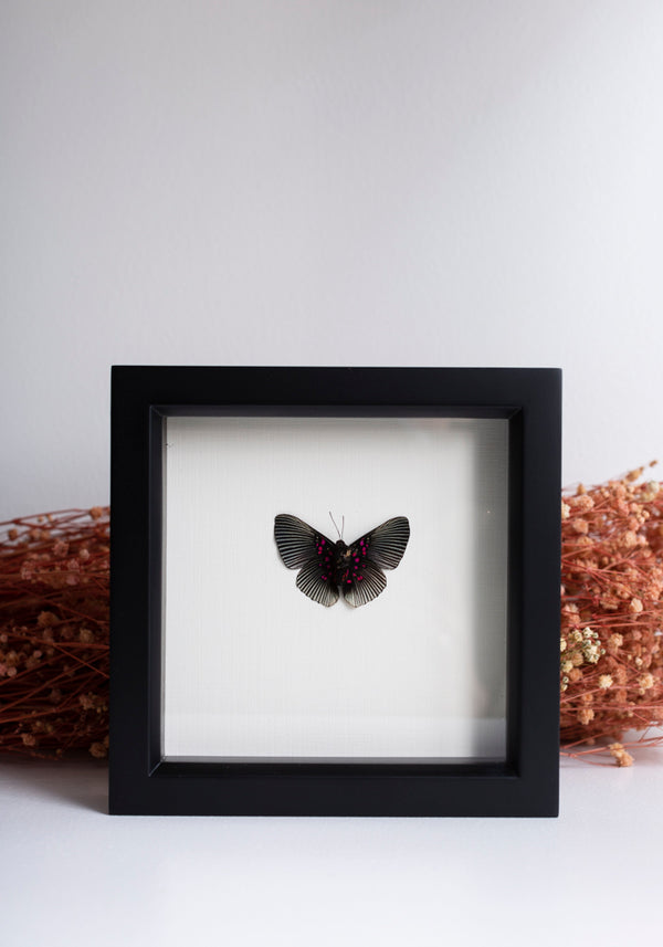 Framed Apollo Metalmark