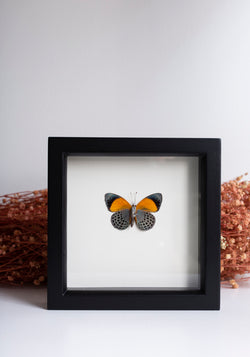 Framed Dotted Glory Butterfly