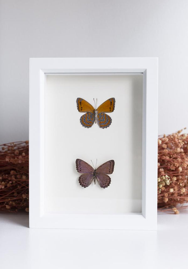 Framed Meadow Wanderer Butterfly Set