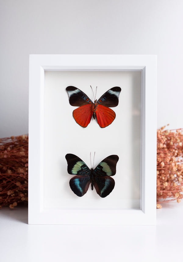 Framed Red Flasher Butterfly Set