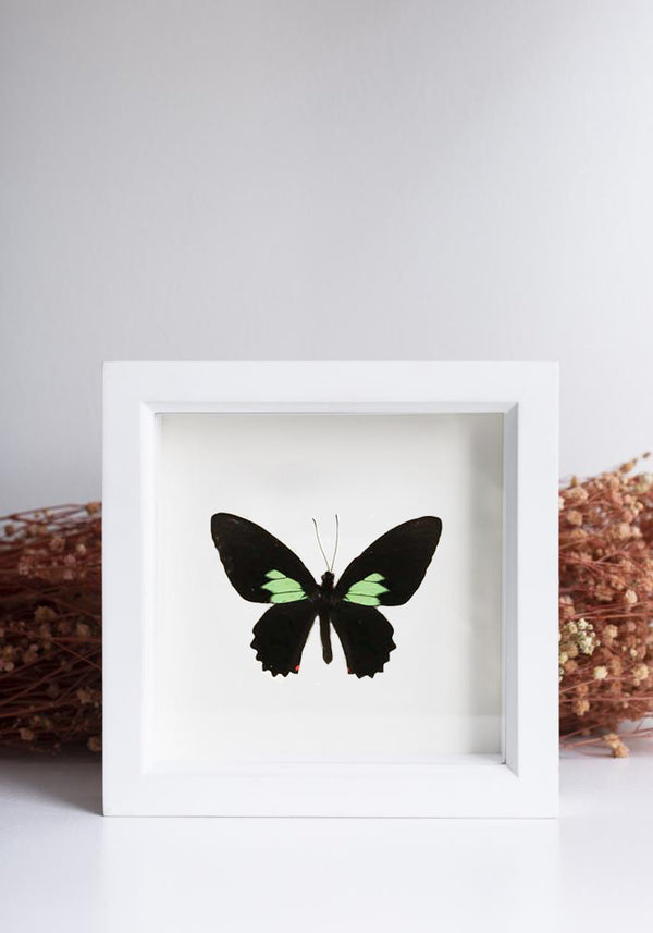 Framed Emerald Patch Cattleheart Butterfly