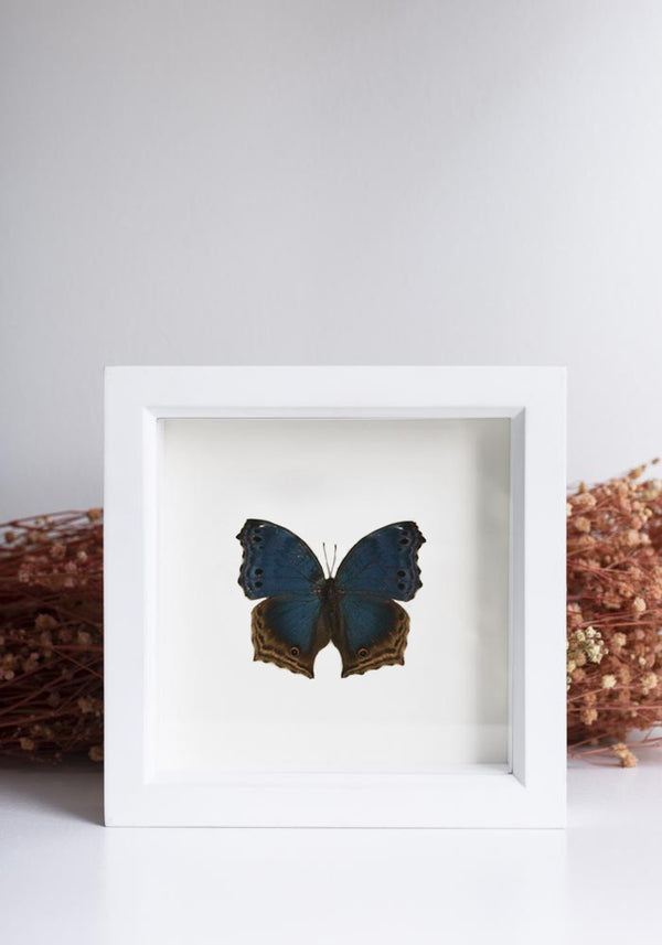 Framed Blue Mother of Pearl Butterfly