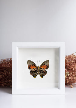 Framed Shining Red Charaxes Butterfly