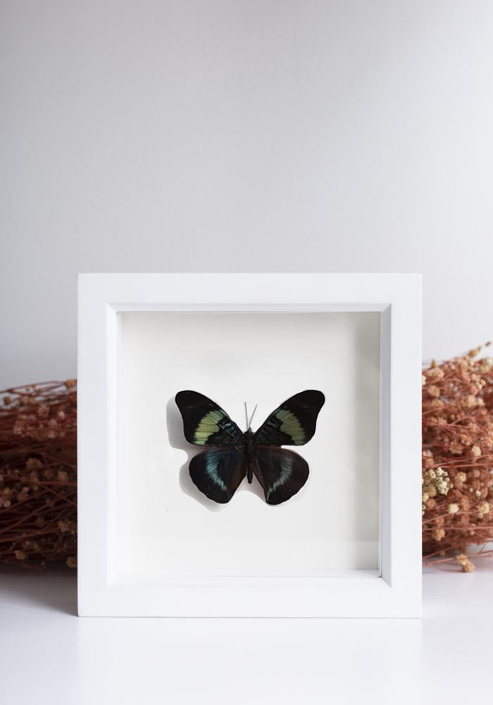 Framed Red Flasher Butterfly