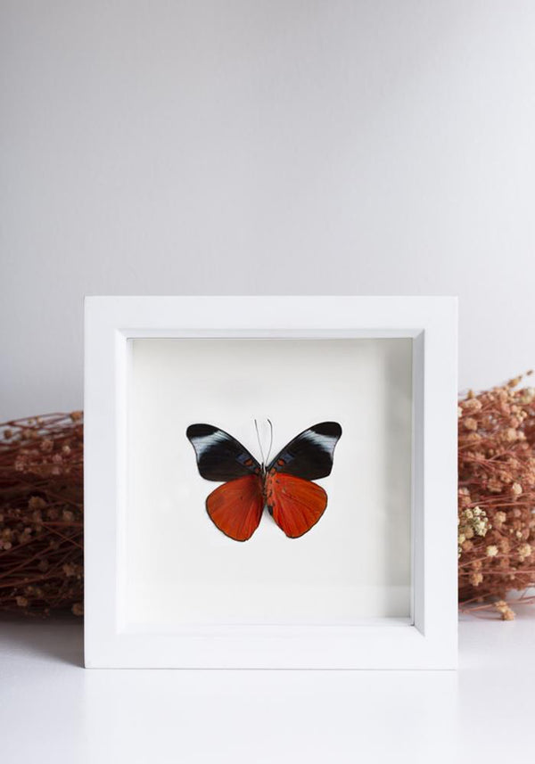 Framed Red Flasher Butterfly Underside - December Thieves