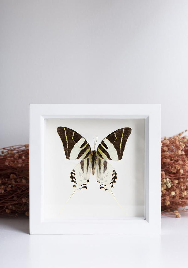 Framed Giant Swordtail Butterfly