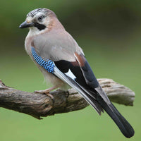 Brown Jay Wing Feathers