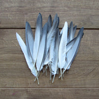 Homing Pigeon Feathers (Long)