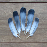Homing Pigeon Feathers (Short)
