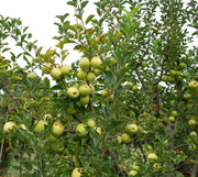 yellow golden delicious apples hanging from a tree arboradvisor of colorado