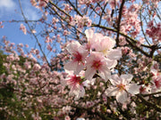 showy pink flowers on a bing cherry tree from arboradvisor of colorado