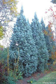 hedge of Iseli Fastigate Narrow Blue Spruce tree arboradvisor of colorado