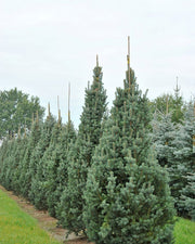 row of Iseli Fastigate Narrow Blue Spruce trees arboradvisor of colorado