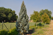 Iseli Fastigate Narrow Blue Spruce tree arboradvisor of colorado