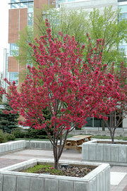 flowering radiant crabapple trees arboradvisor of colorado