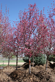 radiant crabapple trees arboradvisor of colorado