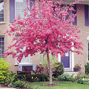 flowering radiant crabapple tree arboradvisor of colorado