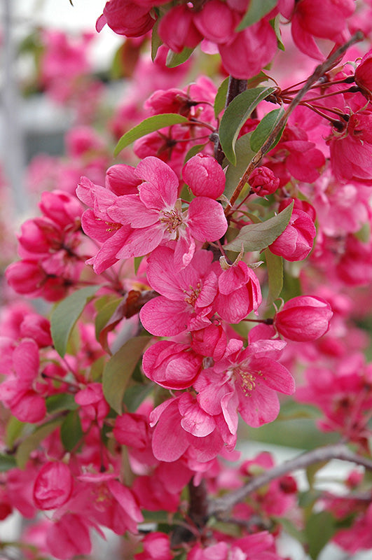 pink flowers of a radiant crabapple tree arboradvisor of colorado