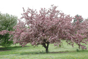 flowering robinson crabapple tree arboradvisor of colorado