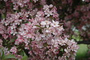 pink flowers of a robinson crabapple tree arboradvisor of colorado