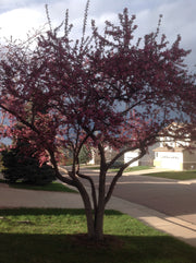 robinson crabapple tree arboradvisor of colorado