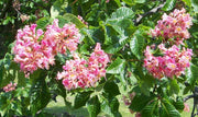 flowers of a Ruby Red Briotti Horsechestnut tree arboradvisor of colorado