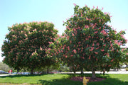 Ruby Red Briotti Horsechestnut tree arboradvisor of colorado