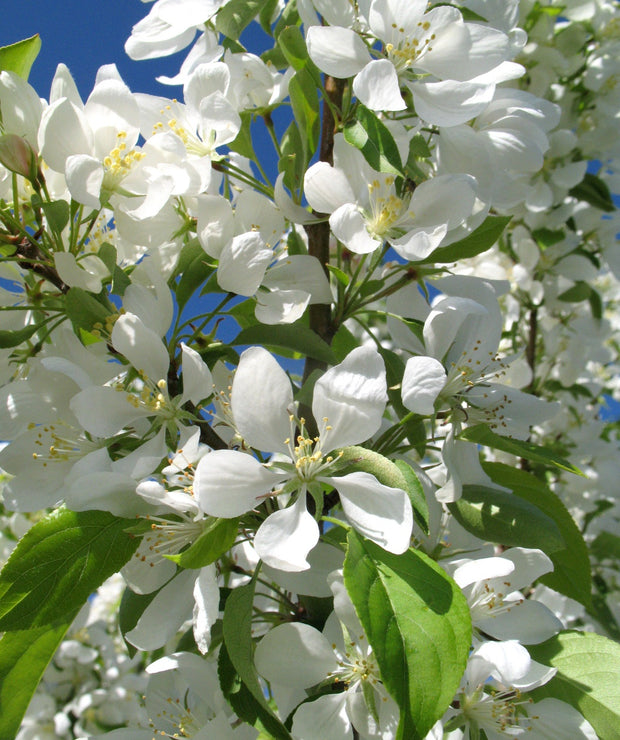 flowers of a spring snow crabapples tree arboradvisor of colorado