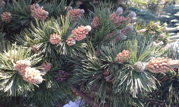 pine cones and needles of a Tannenbaum Pine (Semi Dwarf) tree arboradvisor of colorado