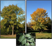 triumph elm trees in various shades of green and yellow arboradvisor of colorado