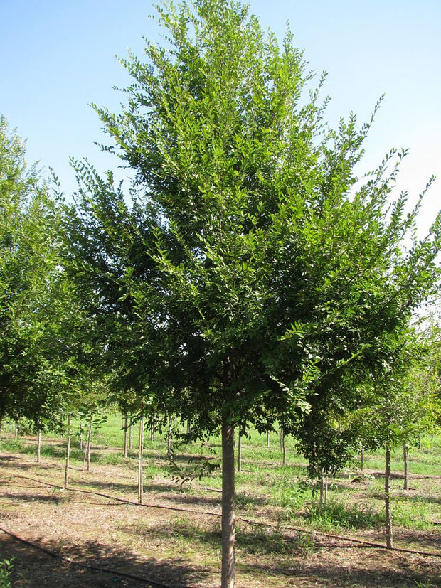 triumph elm tree arboradvisor of colorado