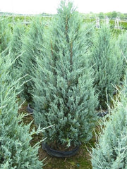 wichita blue juniper trees arboradvisor of colorado