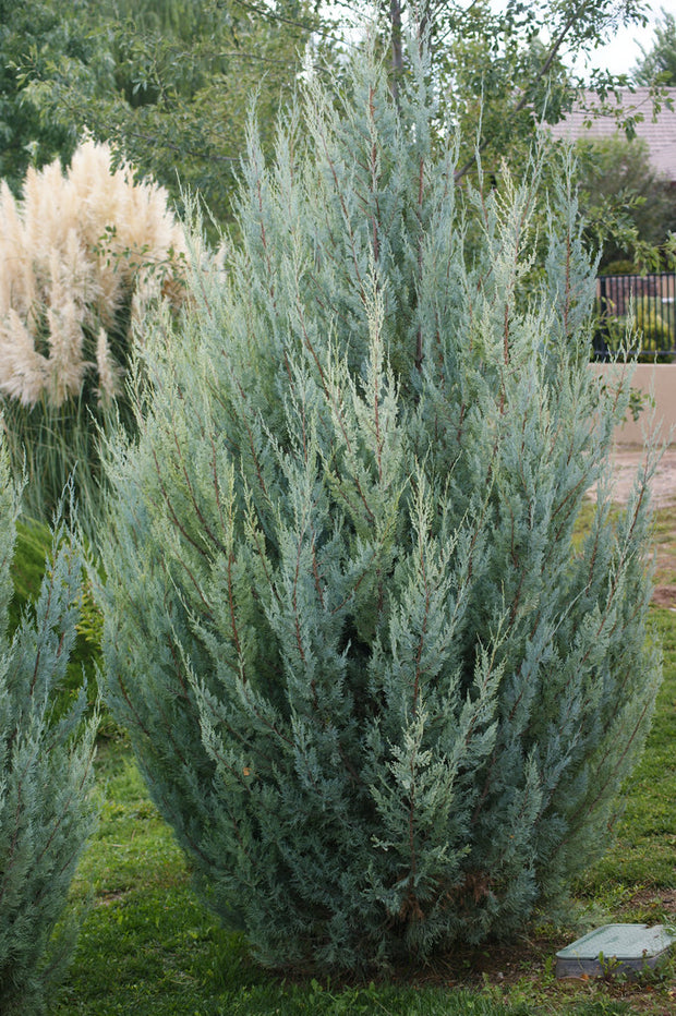 wichita blue juniper tree arboradvisor of colorado