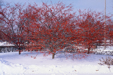 winter king hawthorn trees in various shades of red arboradvisor of colorado