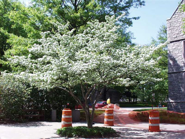 flowering winter king hawthorn tree arboradvisor of colorado