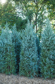 hedge of wichita blue juniper trees arboradvisor of colorado