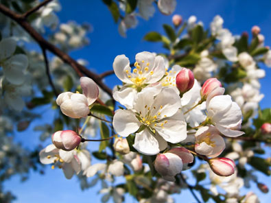 flowers of a yellow golden delicious apple tree arboradvisor of colorado