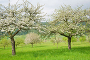 yellow golden delicious apple trees arboradvisor of colorado