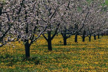 grove of yellow golden delicious apple trees arboradvisor of colorado