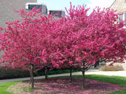 group of flowering adams crabapple trees from arboradvisor of colorado