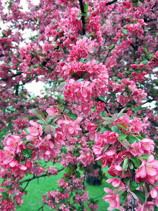 closeup of bright pink flowers on a adams crabapple tree from arboradvisor of colorado