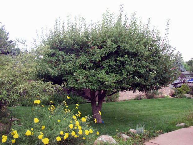 adams crabapple tree in summer from arboradvisor of colorado