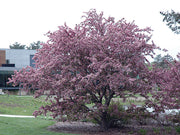 flowering adams crabapple tree from arboradvisor of colorado