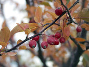 fruit and leaves on a adams crabapple tree from arboradvisor of colorado