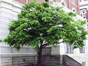 american hornbeam tree from arboradvisor of colorado