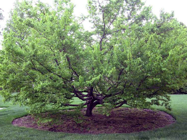 mature american hornbeam tree from arboradvisor of colorado