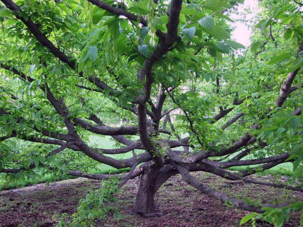 under the canopy of an american hornbeam tree from arboradvisor of colorado